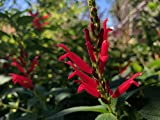 "P066X01. 1 Plant of Salvia elegans ""Pineapple Sage"""