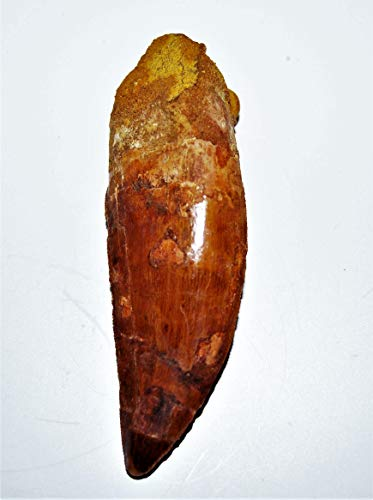Carcharodontosaurus Dinosaur Tooth 4.087'' Fossil African T-Rex XLDB #14163 22o by Fossils, Meteorites, & More (Image #2)