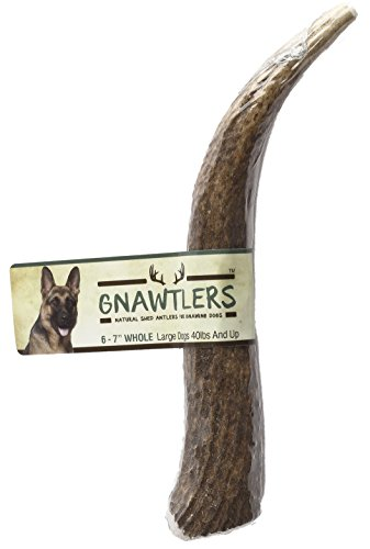 "Gnawtlers - Premium Elk Antlers For Dogs, Naturally Shed Elk Antlers, USA Natural Elk Antler Chews, Specially Selected Elks Antlers From The Rocky Mountain & Heartland Regions - 6""- 7"" Elk Antler"