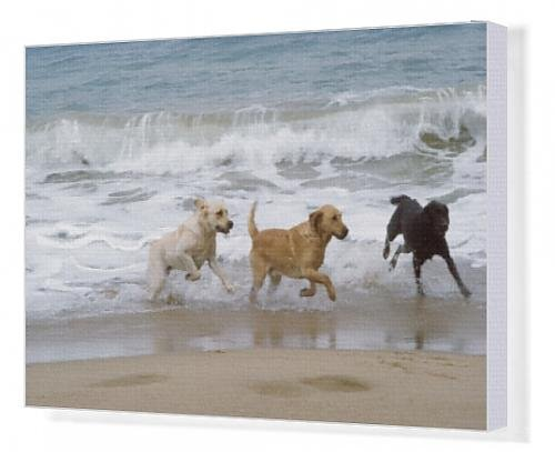 Canvas Artwork of Labrador DOGS - running on beach