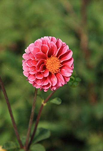 Amazon.com Pink Dahlia Bulbs(3 Bulbs) Unique Rare Flowers