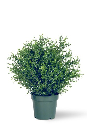 National Tree 30 Inch Argentea Plant in 10 Inch Round Green Plastic Pot (LAR4-700-30-1)