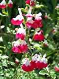 SALVIA MICROPHYLLA 'HOT LIPS' - STARTER PLAN