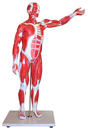 Vision Scientific VAM433 Muscular Figure - 34 inch Model, 27 Parts