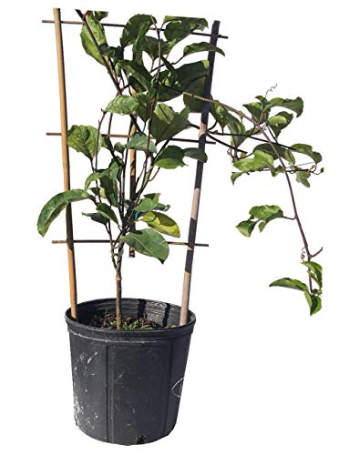 (Passion Fruit Vine Yellow Variety, 2 Feet Tall, 3-gal Container from Florida)