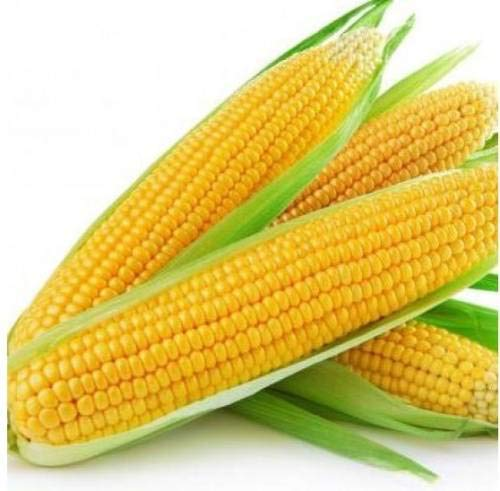Shopmeeko Seed Sweet Corn Seed (Pack of 50 Seed X 1 PER PKTS) 1 Packet of Sweet Corn Seed (50 per Packet) ()