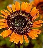 Arctotis fastuosa/Namaqua Marigold/Half Hardy Annual/Seeds