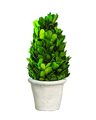 "Craft House Designs Mini 6.5"" Preserved Boxwood Cone Topiary for Indoor Farmhouse Greenery Decor"