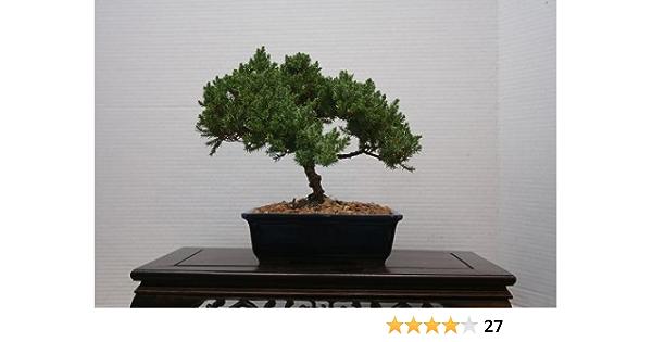 Amazon Com Lou S Bonsai Nursery Juniper Bonsai Tree In Japanese Pot Bonsai Plants Grocery Gourmet Food