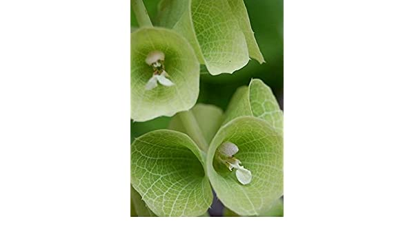 BELL SHAPED BRACTS BELLS OF IRELAND DRIED AND FRESH FLOWER DESIGN *