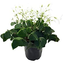 "Green Shamrock Plant - White Flowers - Oxalis - 4"" Pot - St. Patrick's Day"