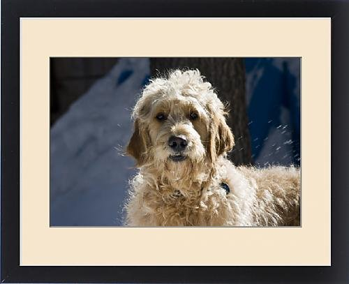 Framed Print of Morning light on a Goldendoodle standing in the snow by Fine Art Storehouse