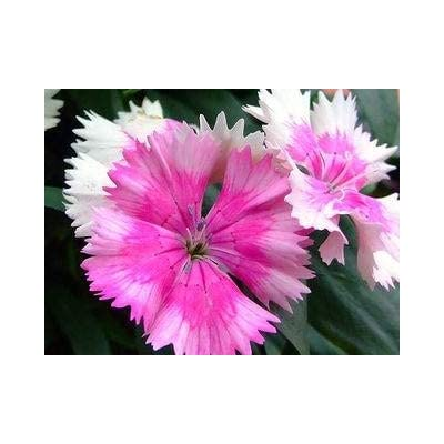 Dianthus Barbatus (Sweet William) 100 Seeds : Garden & Outdoor