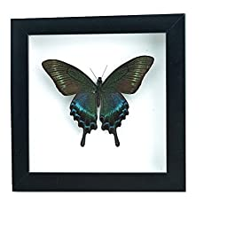 Lucklovely Rare Real Beautiful Paris Green Swallowtail Butterfly Insect Taxidermy Framed Mounted in Black Display