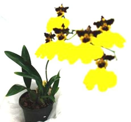1 blühfähige Orchidee der Sorte: Oncidium Joakim, aufgebunden oder 13cm Topf