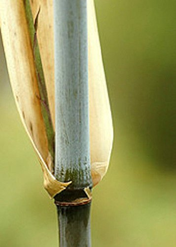 Box of 10 Borinda Angustisima Clumping Bamboo #1 Size Live Plant by Maya Gardens, Inc.