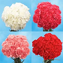 200 Fresh Cut Valentine's Carnations | Fresh Flowers Express Delivery | Perfect Valentine's Day Gift