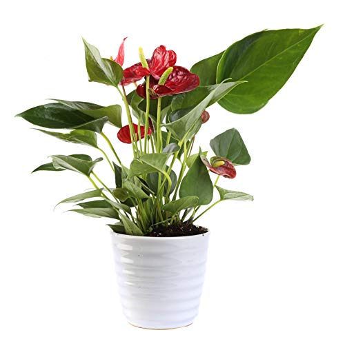 (Costa Farms Blooming Anthurium, Live Indoor Plant, 12 to 14-Inches Tall, Ships in White Ceramic Planter, Great Gift, Fresh From Our Farm or Home)