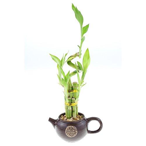 Lucky Bamboo Five Stalk with Spiral Arrangement in Unique Teapot Planter by NW Wholesaler