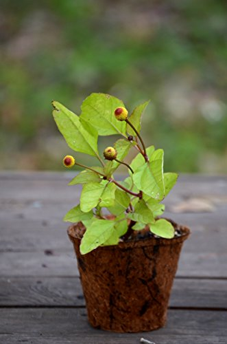 Toothache Plant - 9EzTropical - Toothache Plant - Acmella oleracea - 1 Plants - Ship in 3