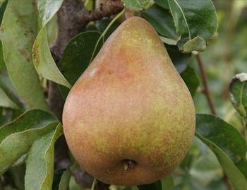 (5 Gallon) Dwarf, Moonglow PEAR Tree. Good for Warmer Climates. Medium-Size. Excellent Flavor and Ripens Early.