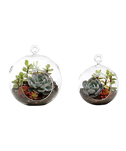 Succulent Terrarium Duo Medium Globe and Small Globe: Echeveria, Jelly Bean, Variegated Elephant Bush (Elephant Bush compare prices)
