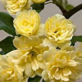 (3 Gallon) Yellow Lady Banks Rose (Climbing Rose) - Beautiful, Thornless,Small, Double Yellow Blooms Fragrant. Great On Fence or Trellis