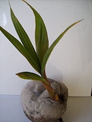 Yellow Coconut Sprouted Tree Live Coconut Palm