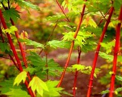 (PACIFIC FIRE OREGON VINE MAPLE - A CORAL BARK SELECTION OF OUR NATIVE VINE MAPLE - 1 - YEAR PLANT)