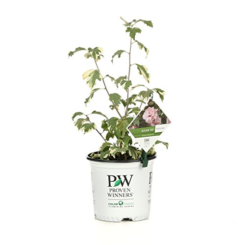 - Sugar Tip Rose of Sharon (Hibiscus) Live Shrub, Light Pink Flowers and Variegated Foliage, 1 Gallon