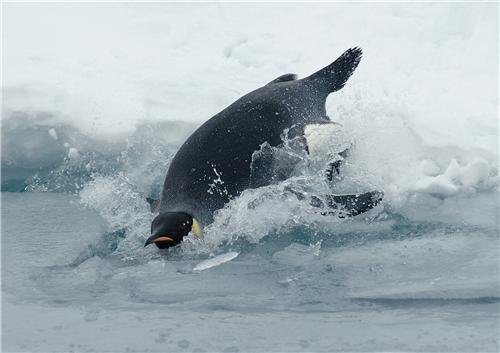 DIVING EMPEROR PENGUIN GLOSSY POSTER PICTURE PHOTO march happy feet (Happy Feet Penguin Pictures)