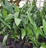 1 Gallon Pot: Aspidistra elatior Cast Iron Plant - Tough groundcover for low light, wide leaves with coarse texture, shade.