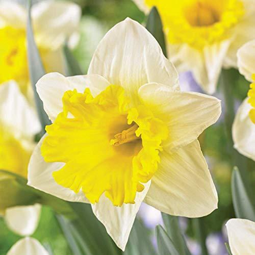 Burpee Las Vegas Daffodil - 10 Flower Bulbs | White & Yellow | 14cm - 16cm Bulb Circumference