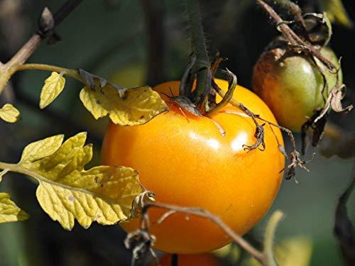 Tomato Seeds Selection Complete List Collection zellajake Varieties Beefsteak (Sunray 50 Seeds) ()