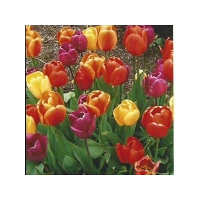 SILKSART 20 Tulip Bulbs Perennial Bulbs for Garden Planting Mixture - A Colorful Mix of Tulips!: Garden & Outdoor
