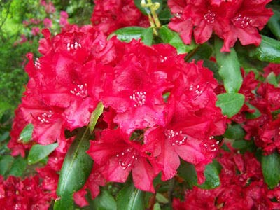 ce- Deep Red Bloom - Grows Five Feet Tall (12