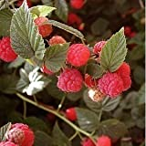 Indian Gardening Organic Red Raspberry - 10 Seeds