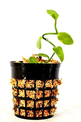 "Vanilla Vine Orchid Plant - Most Popular Spice - 3"" pot by AuSableBotanicals.com"