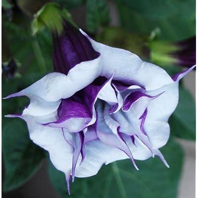 (10) Purple & White Angel Trumpet Brugmansia Fragrant Flowering Plant Seeds : Garden & Outdoor