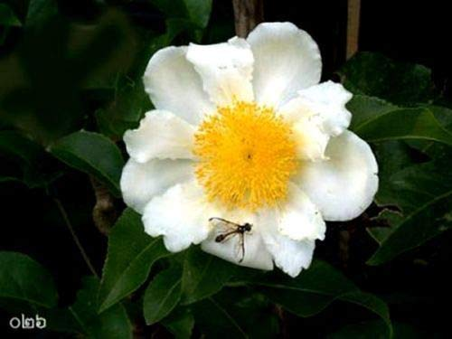 10 Seeds: Uncle chan Seeds mesua ferrea Rare sri Lankan Ironwood Indian Rose Chest c672