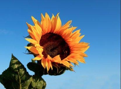 sunflower seeds bulk for planting - 8