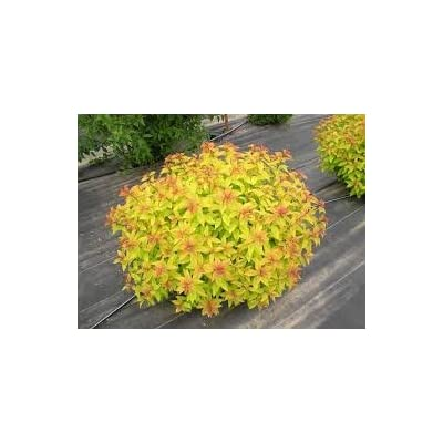(1 Gallon) Goldflame Spirea, Three Seasons of Gorgeous Foliage Color Change, Goldflame is Famous for Changing Foliage Color From Bright Green to Reddish in Spring, (Hydrangeas Shrub, Evergreens, Gardenia Flowers Shrub): Toys