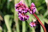 Home Comforts Laminated Poster Crassifolia Bergenia Crassifolia Saxifrage Poster Print 24 x 36