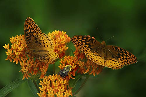 - Asclepias tuberosa Orange Butterfly Weed (1 Order Contains 2 Potted Plants)