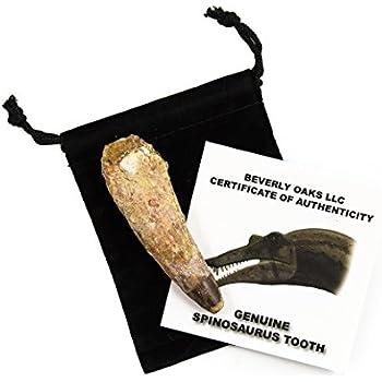 "Amazon.com: Edu-Toys T-Rex Skeleton 36"" Scale Replica"