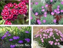 Very Maiden Dianthus Deltoides Arctic Fire Carnation Flower Seeds Dianthus deltoids 100 Seeds MIX #32681506003ST