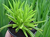 Live Peperomia ferreyrae (Pincushion Peperomia). Succulent Plant.