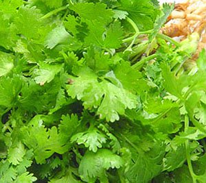 200 Coriander Seeds Vegetable Seeds