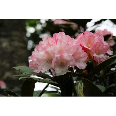 "Rhododendron Yaku Sunrise - Muted Pink Bloom Fading to Darker Pink at Edge- Grows Three Feet Tall (12"" to 15"" Wide Plant – Typically Three Gallon) : Garden & Outdoor"