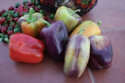Pinot Noir Hybrid Sweet Bell Pepper 25 Seeds Look At This Beauty All the Colors